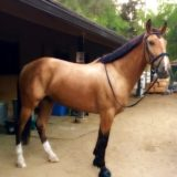 "The GOOD HORSE – ""BRONSON"" July's Horse of the Month"