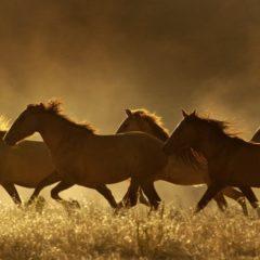 Wild Horses Roaming Free – By Linda Ballou